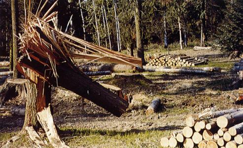 Arbre cassé dans l'Arboretum d'Amance après la tempête de 1999