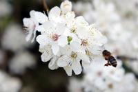 Abeille qui butine une fleur au printemps à l'Arboretum d'Amance de Champenoux