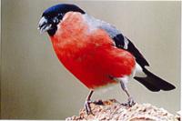 Bouvreuil pivoine mâle rouge et bleu de l'Arboretum d'Amance de Champenoux