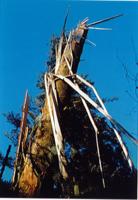 Chandelle de pin cassé par la tempête de 1999 à l'Arboretum d'Amance de Champenoux