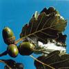 Feuilles et glands de chêne sessile