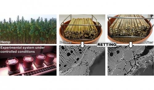 10 février 2020 - Le stade de récolte du chanvre industriel modifie la durée du rouissage au champ