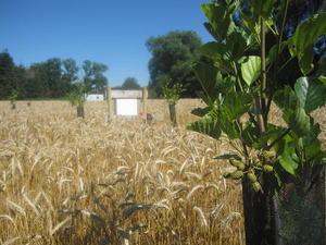 champ de blé intercalé de lignes d'aulnes