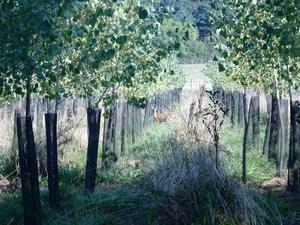 Monoculture de peuplier ( et chevreuil)
